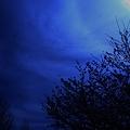 sakura-silhouette