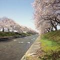 Photos: 朝日の桜の名所