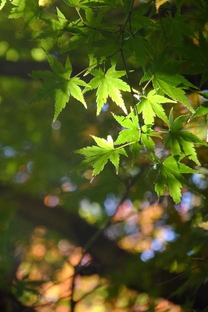 明月院の緑もみじ、背景紅葉
