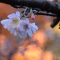寒桜を眺めながら今年のすべての紅葉の撮影を終了しました!!今年も2カ月間良い夢を見ました!!