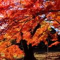 関東在住の風景写真家さんは近日中に新宿御苑を訪れて下さい♪この世のものとは思えない美しい紅葉を撮影できます!!