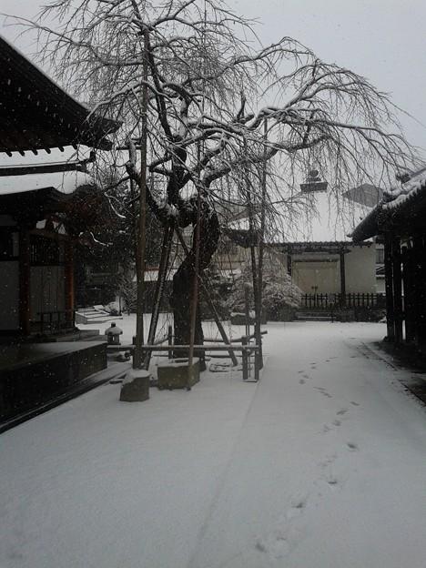 桜もひたすら寒さに耐える