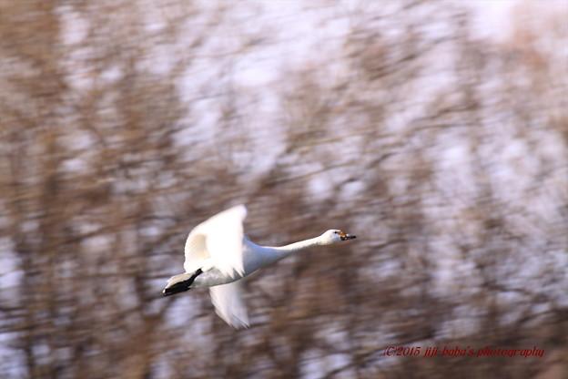 白鳥の詩 飛翔_20150110_31