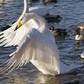 白鳥が羽を伸ばす