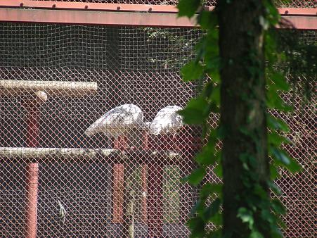 柵越しの先にいる朱鷺たち