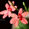 Photos: 2012ヒメヒオウギ開花。美しー。