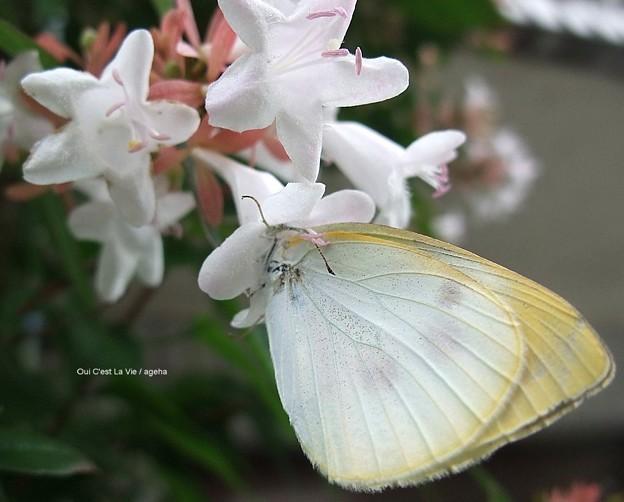 モンシロチョウ 紋白蝶 オス。顔突っ込みすぎ。