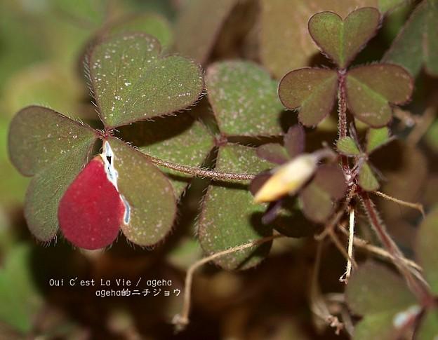 カタバミ紅葉。虫食いのなせるワザ。