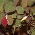 写真: カタバミ紅葉。虫食いのなせるワザ。