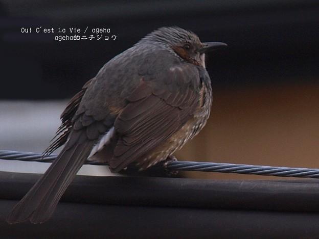 Photos: えさまだ?(ヒヨドリ)
