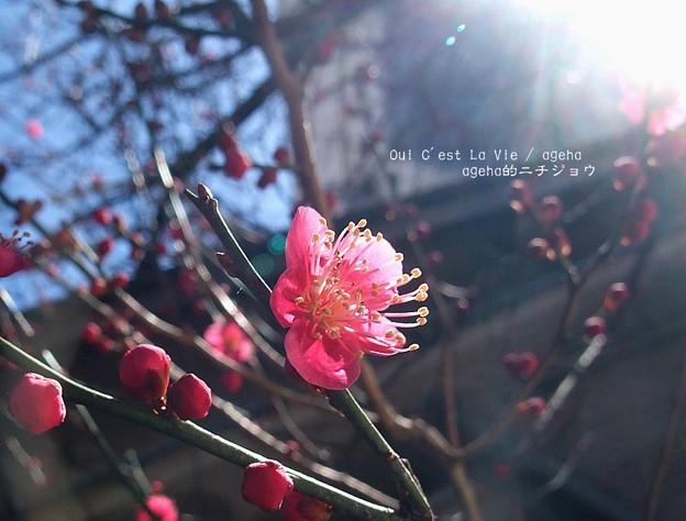 梅もちらほら咲いてます。(2015)