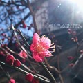 Photos: 梅もちらほら咲いてます。(2015)