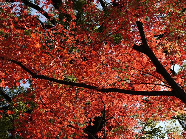 Photos: 川越 喜多院の紅葉 36