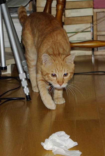2008年11月01日の茶トラのボクちん(4歳)