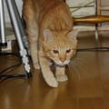 写真: 2008年11月01日の茶トラのボクちん(4歳)