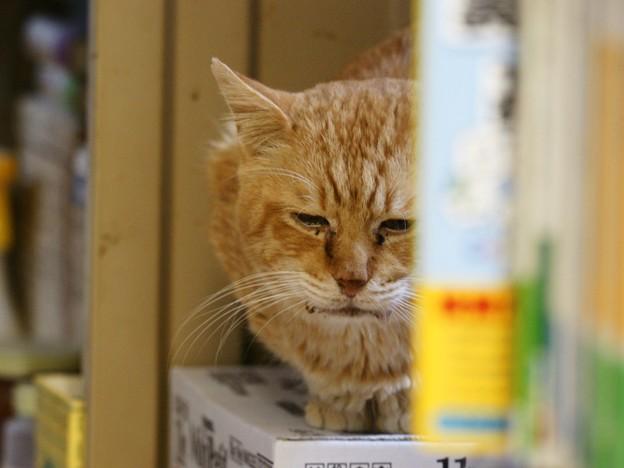 写真: 2011年11月09日の茶トラのボクチン(7歳)
