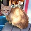 写真: 2008年11月11日の茶トラのボクちん(4歳)