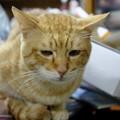写真: 2009年11月19日の茶トラのボクチン(5歳)