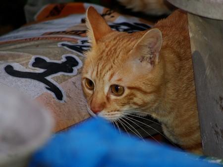 2008年11月27日の茶トラのボクちん(4歳)