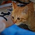写真: 2008年11月27日の茶トラのボクちん(4歳)