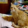 写真: 2008年11月29日の茶トラのボクちん(4歳)