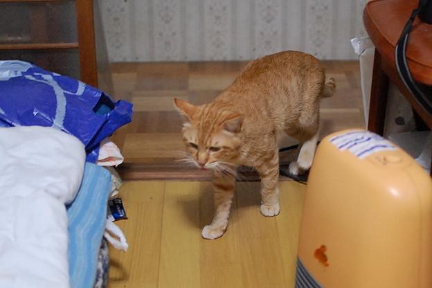 写真: 2010年12月11日の茶トラのボクちん(6歳)