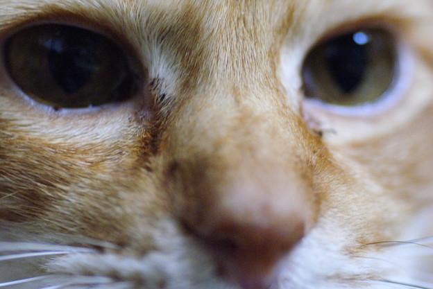 写真: 2010年12月29日の茶トラのボクちん(6歳)