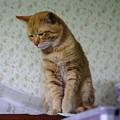 写真: 2009年01月23日の茶トラのボクチン(4歳)