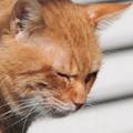 写真: 2010年01月29日の茶トラのボクチン(5歳)