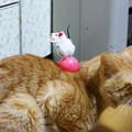 写真: 2010年02月16日の茶トラのボクチン(5歳)