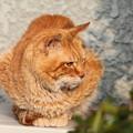 写真: 2012年02月16日の茶トラのボクチン(7歳)