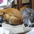 写真: 2012年02月18日の茶トラのボクチン(7歳)とクロちゃん(雄1歳未満)