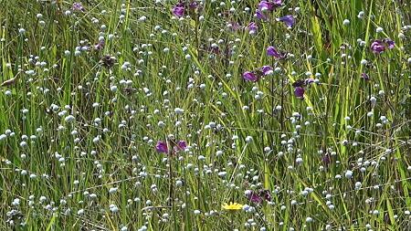 矢並湿地のシラタマホシクサとミカワシオガマ