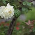 白い薔薇は好きですか