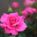 薔薇・・この色も出ない