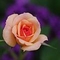 友情の花・薔薇