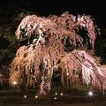 幻想の夜桜