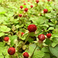 写真: False strawberry
