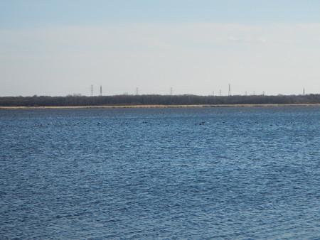 ウトナイ湖 オオバンの群れ