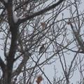 Photos: 2014年12/16  ハチジョウツグミ
