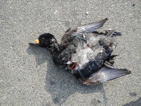 死亡したクロガモ雄2