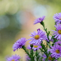 Asters 9-25-11