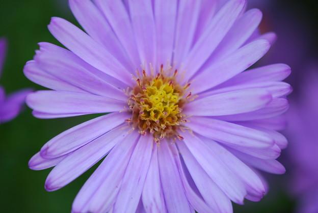 Photos: Purple Aster 9-25-11