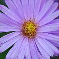 写真: Purple Aster 9-25-11