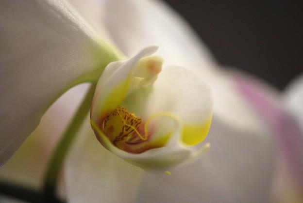 Moth Orchid I 2-1-15