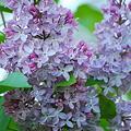 Lilac 5-16-10