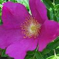 Rugosa Rose 8-28-10