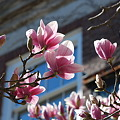 Saucer Magnolia and the Window 5-1-11