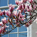 Saucer Magnolia at the Bank 5-1-11