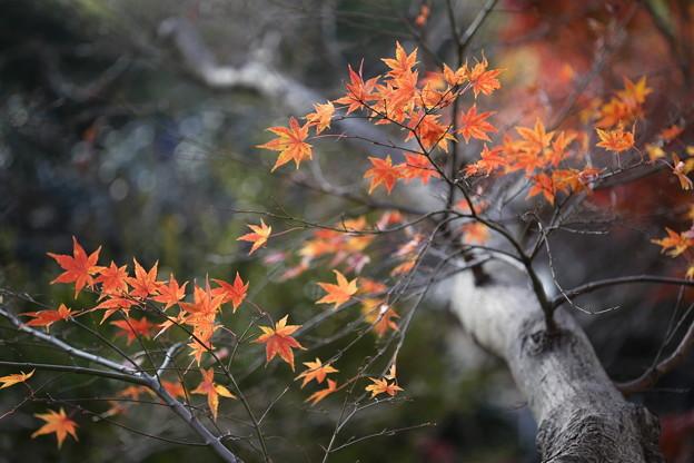 Photos: 熱海梅林の紅葉